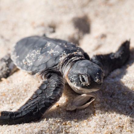 Calor favorece la llegada de tortugas Lora a Tamaulipas