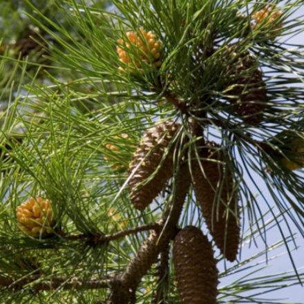 Detectan en Tamaulipas nueva especie de pino piñonero