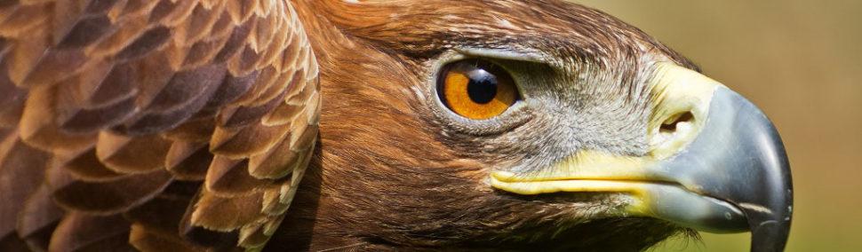 Águila real, símbolo de la identidad mexicana