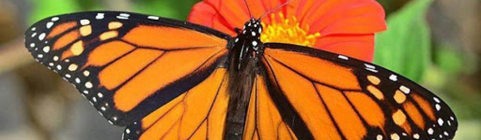 Conoce a la Mariposa Monarca
